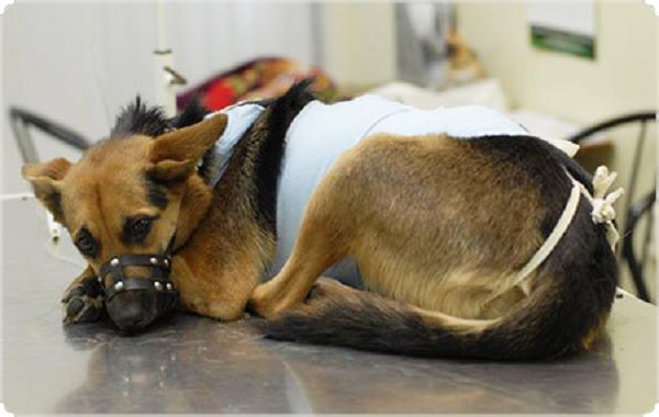 Стерилизация для собак